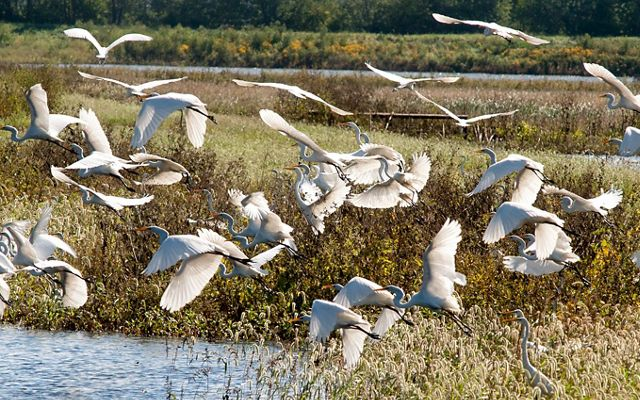 A flock of white birds takes flight over a wetland.