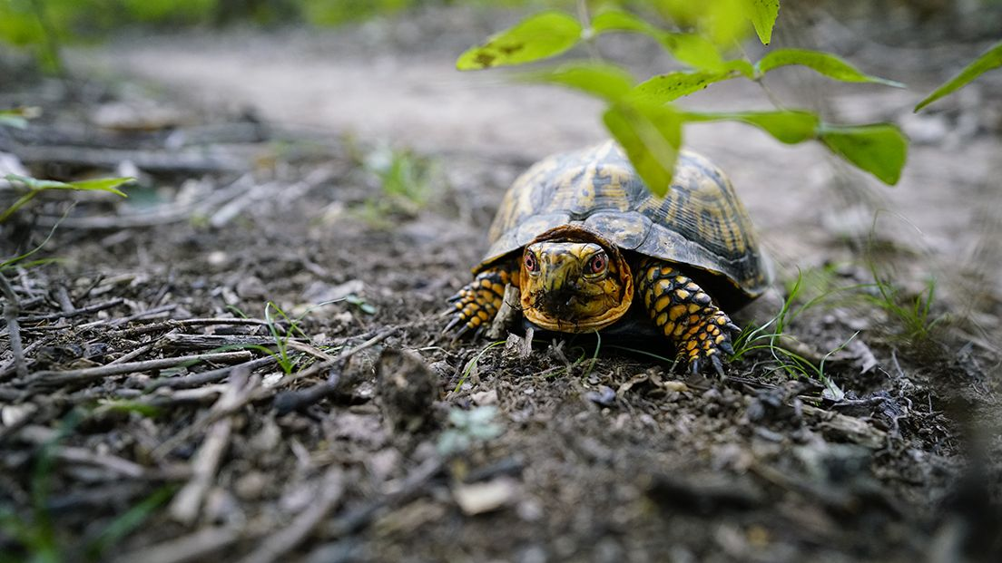 A small turtle sits on a dirt ground, looking at the camera, its legs and head poking out of the shell.