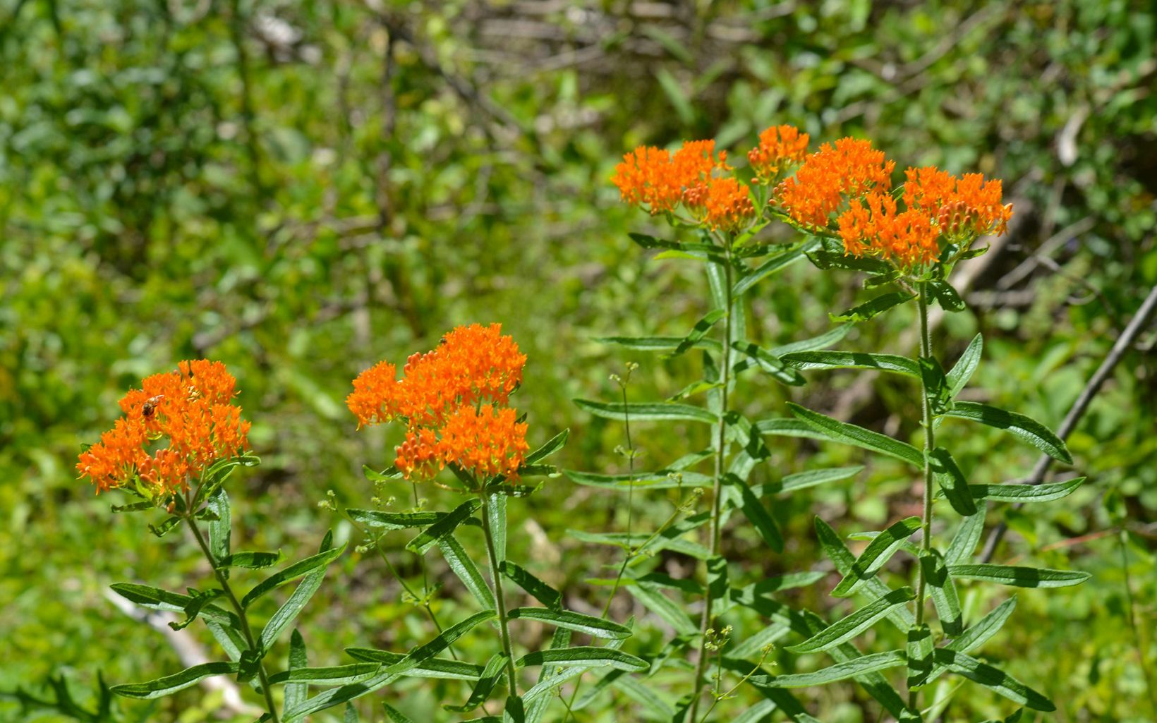 Wildflowers abound in the prairie remnants and the woodland areas in spring through summer like this butterfly weed (Asclepias tuberosa).