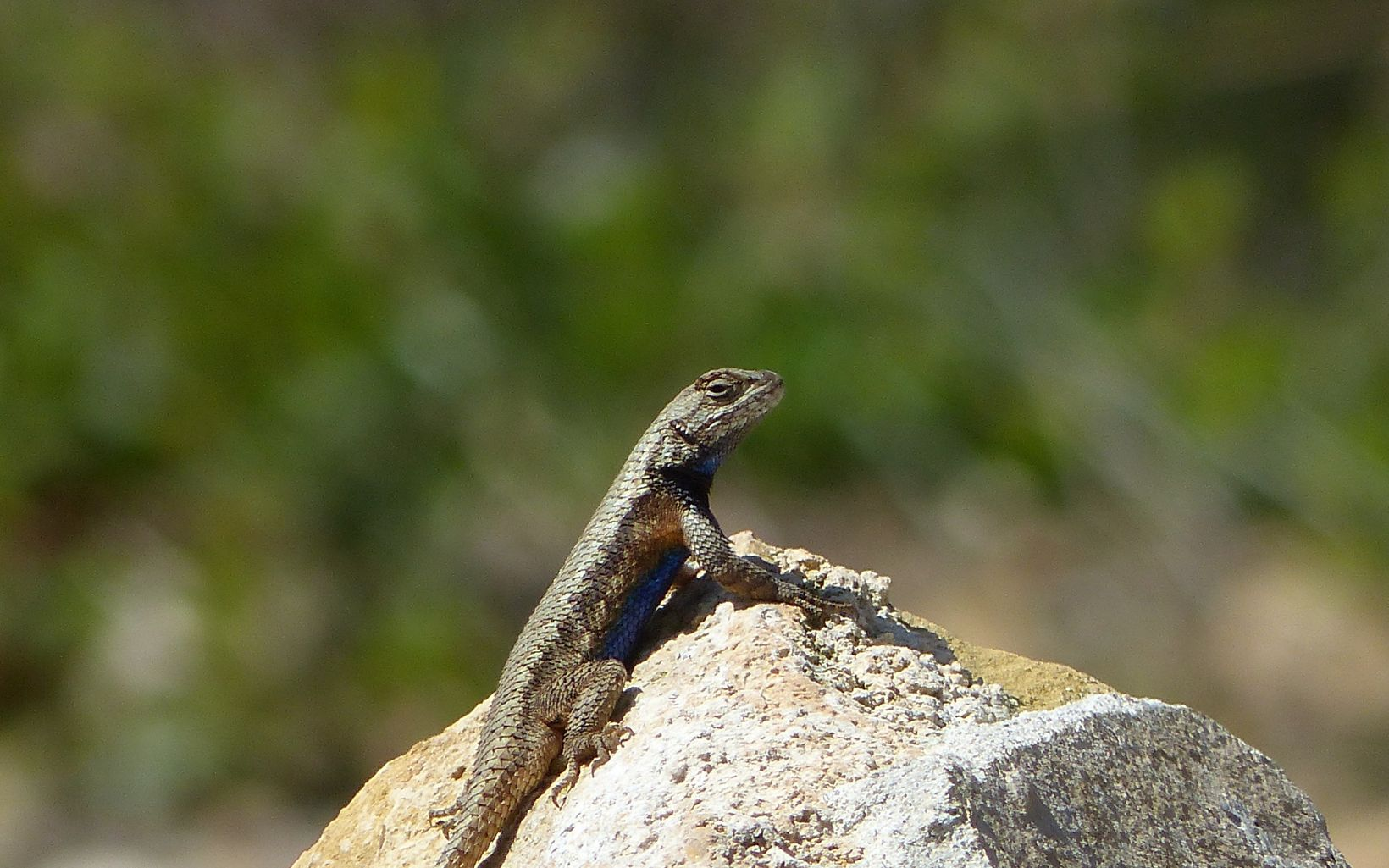 A lizard perched on a rock.