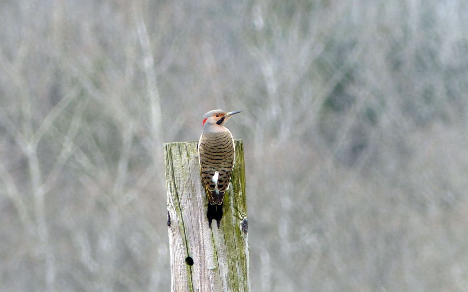 A gray, black and red woodpecker perched on a fence post.