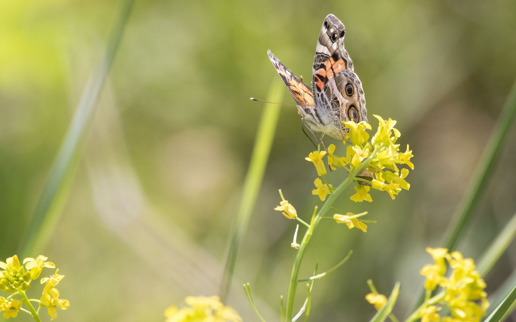 A gray, black and orange butterfly on bright yellow flowers.