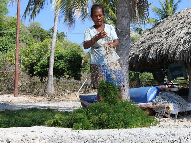Woman sorting seaweed in Rote Indonesia