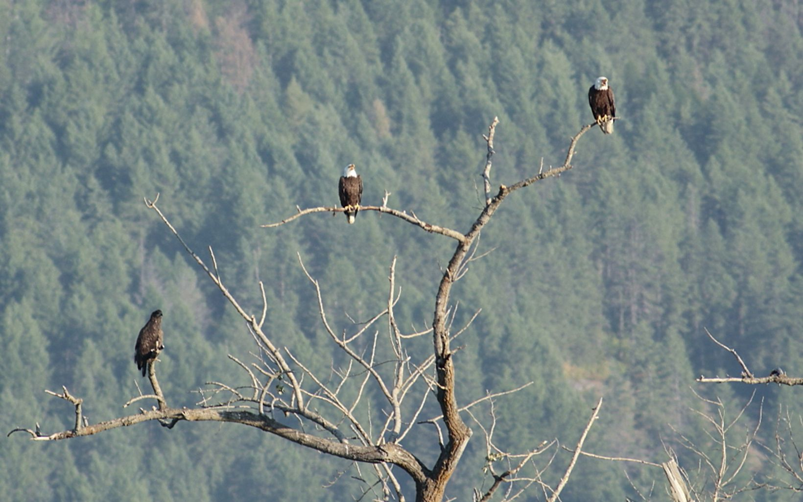 Bald eagles Perched at Ball Creek