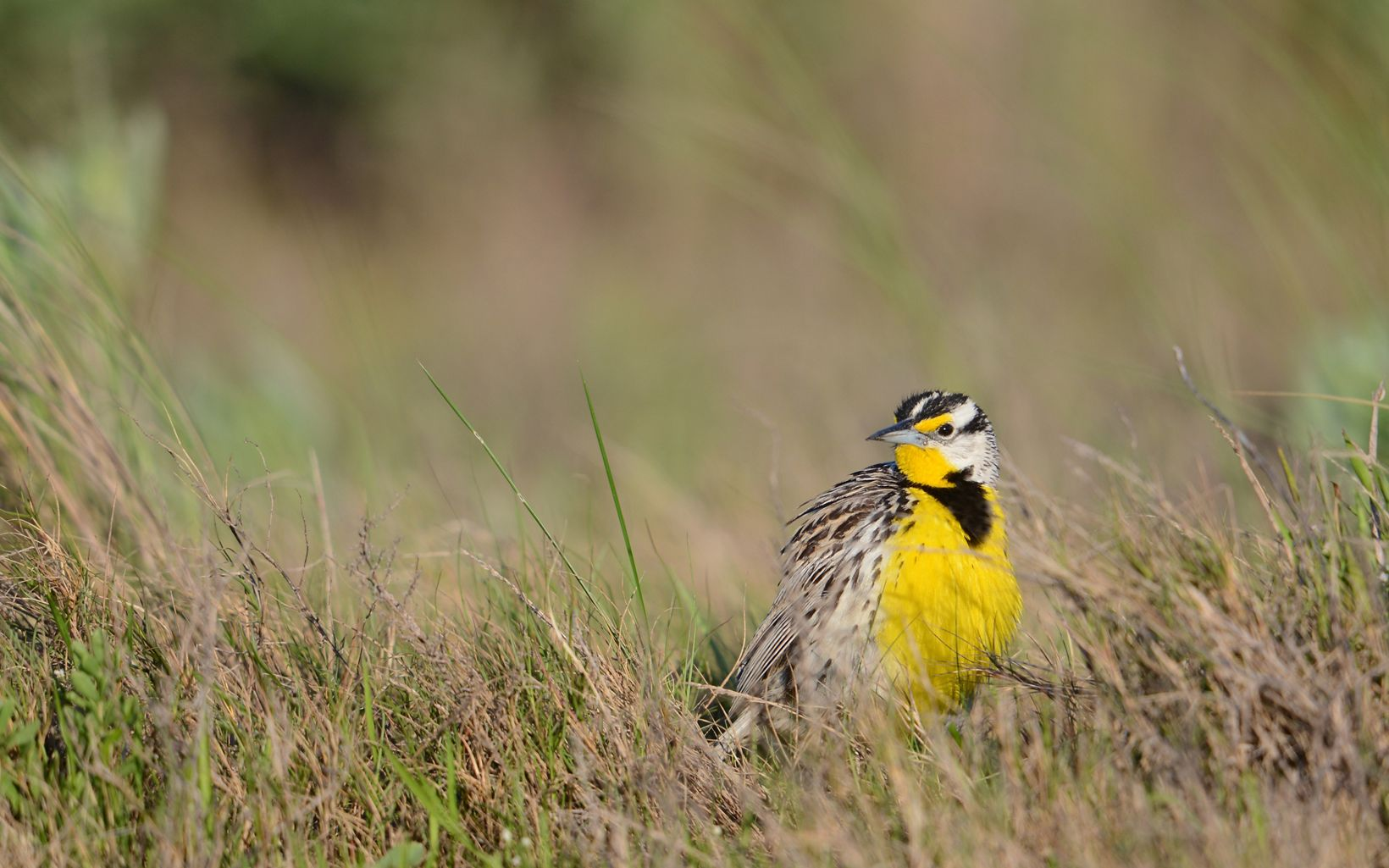 This is just one of the many grassland bird species whose populations are declining rapidly.