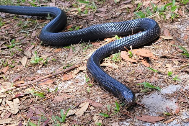 Male eastern indigo snake crawls along the ground at the Central Florida Zoo.