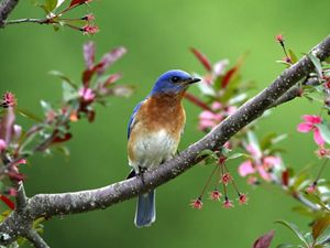 An Eastern bluebird sitting on a branch with pink flowers.