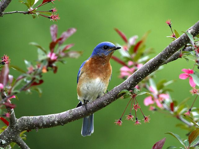 Eastern bluebird sits in a blooming tree.
