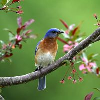 An Eastern bluebird rests on a branch in Dover, New Hampshire.