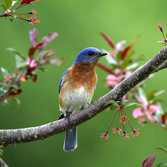A bluebird on a branch that has pink flowers.