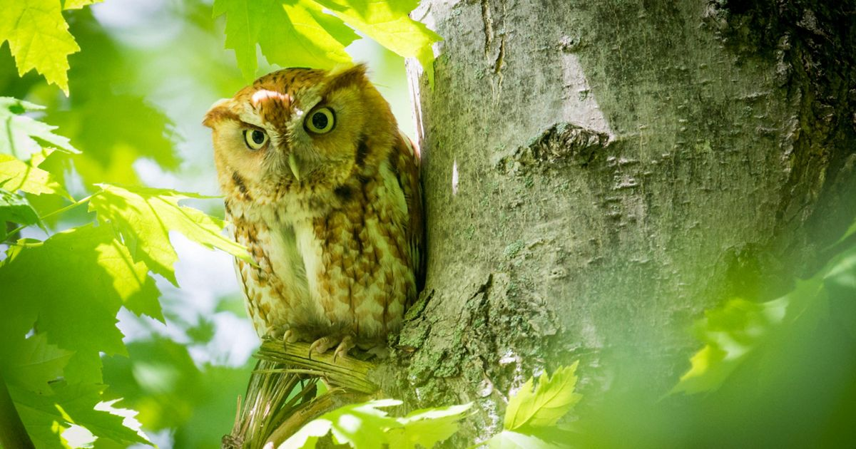 A watchful eye from an eastern screech owl perched in a tree.