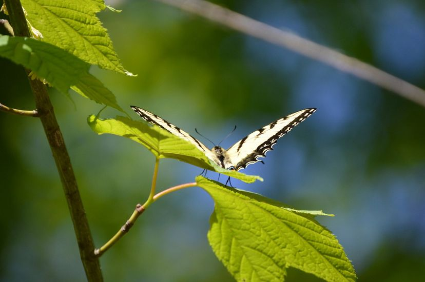 A black and yellow butterfly spreads its wings while resting on a green leaf.