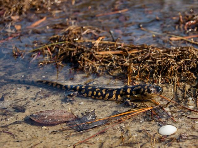 An Eastern tiger salamander is sitting is a sandy, shallow puddle.