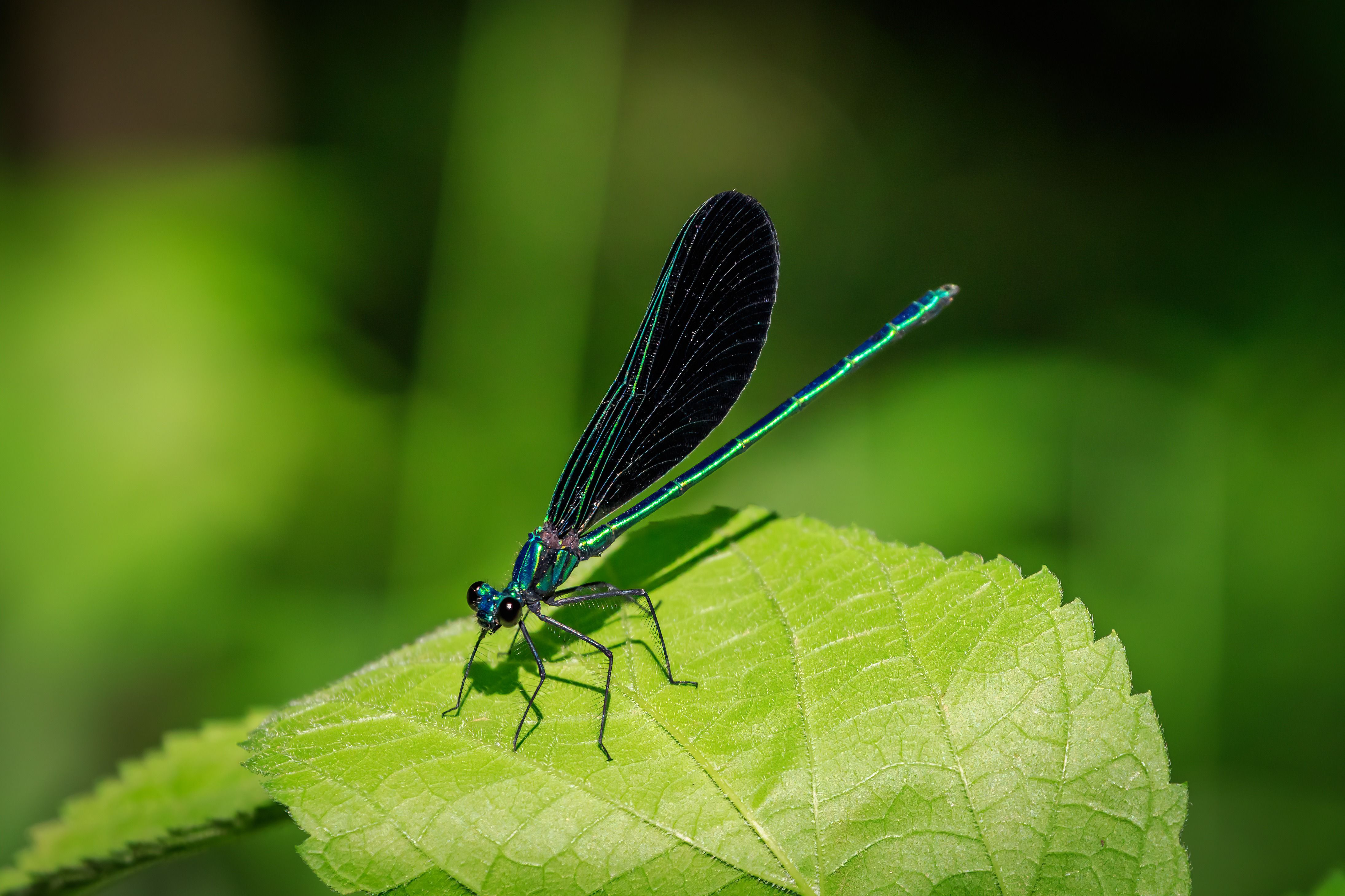 An iridescent black and blue ebony jewelwing rests on a leaf.