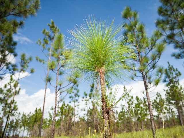 Longleaf pine seedling surrounded by mature trees.