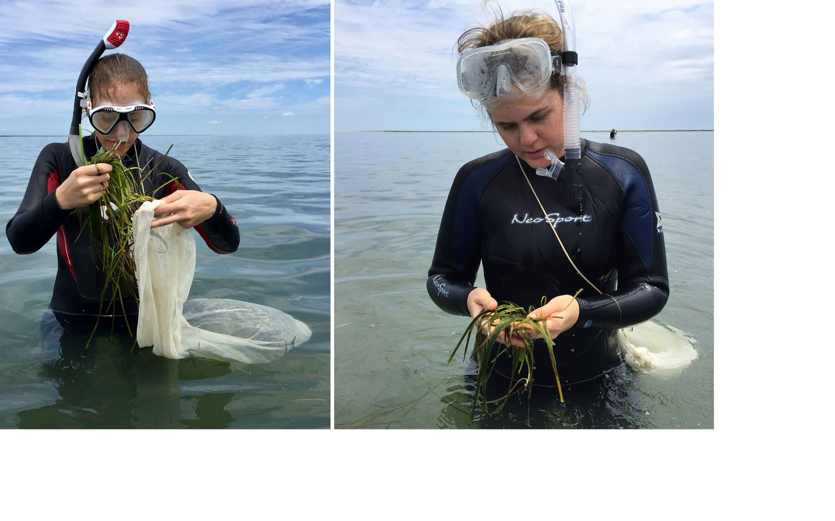 Benay Brotman (l) and Bridget Moynihan (r) collecting eelgrass during Virginia's annual volunteer event. May, 2019.