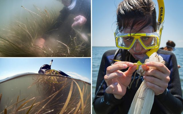 How do volunteers collect up to 10 million eelgrass seeds during a roughly 10-day window? One handful at a time.