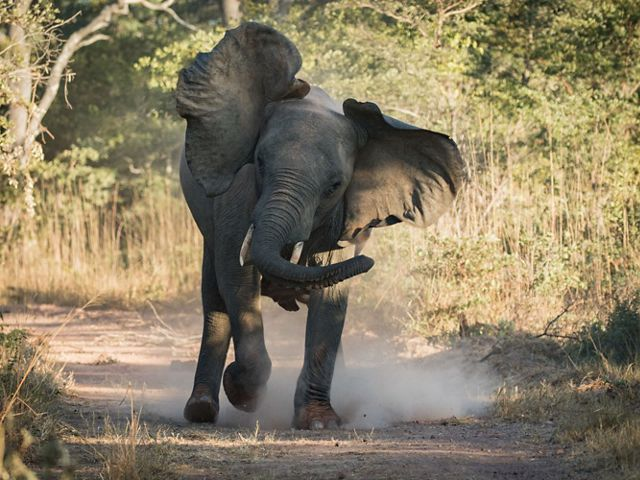 An elephant stomps in a clearing