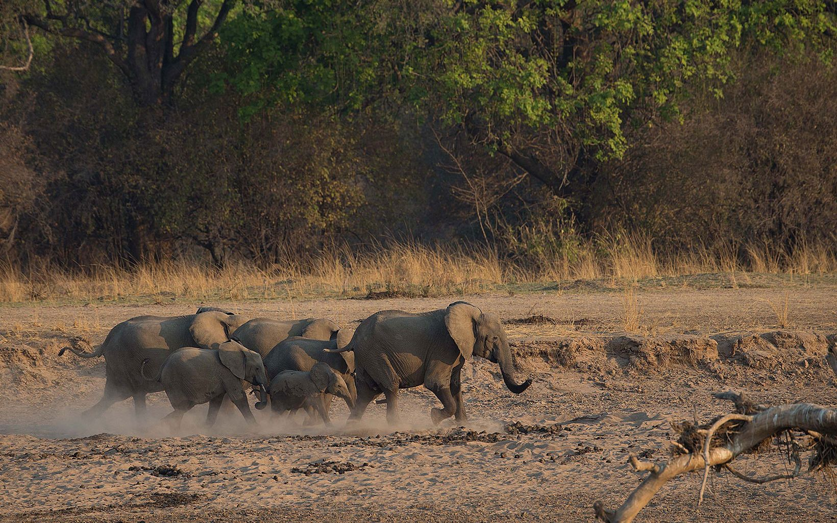 Elephants in Luangwa, Zambia.