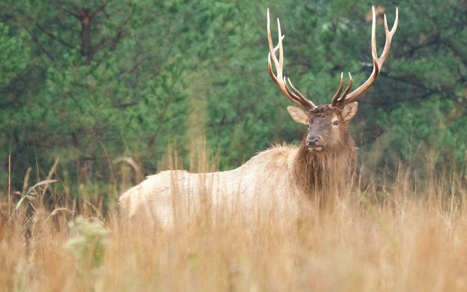 Bull elk in the rain at J.T. Nickel Preserve in Oklahoma.