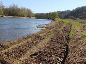 grass sprouting on restored streambank
