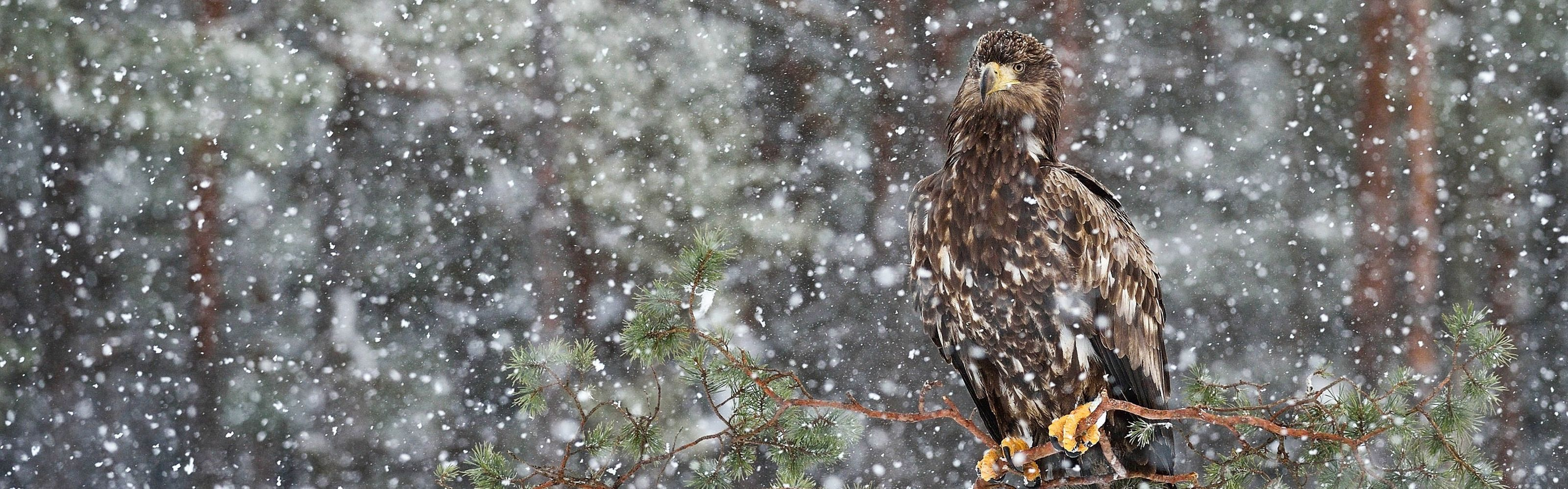 A white-tailed eagle during a snowstorm in Hiiumaa Island, Estonia. This photo was entered into The Nature Conservancy's 2018 Photo Contest.
