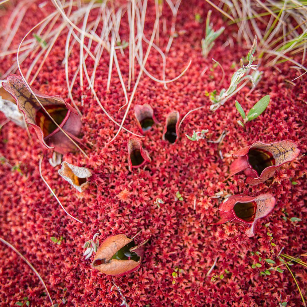 Aerial view of red pitcher plants set against sparse green shrubbery.