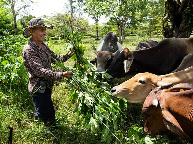 Ernesto Rojas, owner of Girardot farm, feeds his cows Melampodium divaricatum, locally known as Boton de Oro, which contains high protein content, Cubarral, Meta, Colombia. His farm is part of silvopastoral systems, forage banks and living fences made up of native species that provide shelter for wildlife and help connect forest patches to protected areas, serving as wildlife corridors.