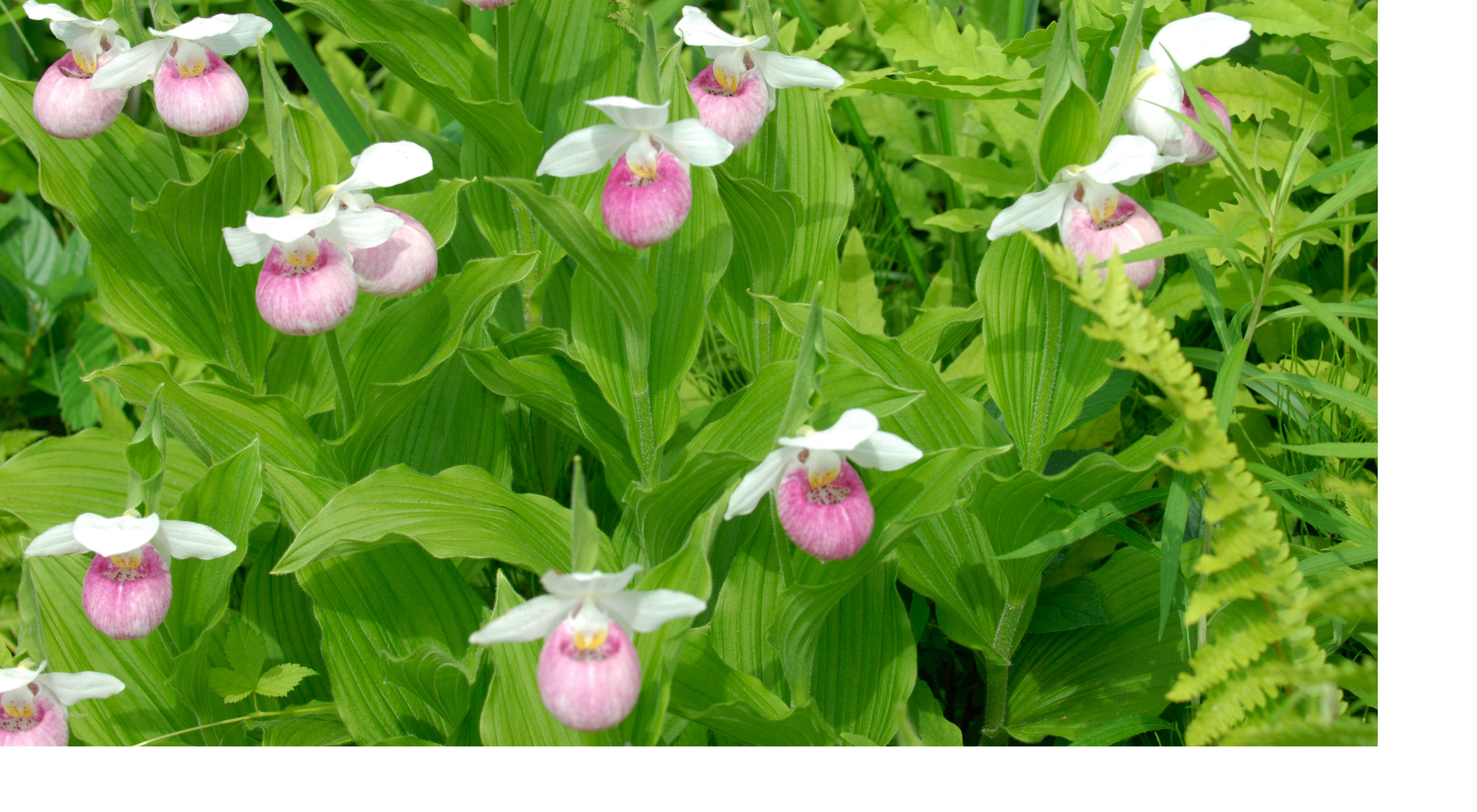Showy lady's slippers at Eshqua Bog Natural Area in Vermont.