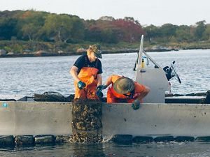 Workers at Fishers Island Oyster Farm examining oyster cages.