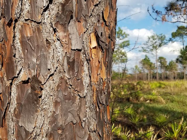 Longleaf pine is adapted to periodic burns. In fact, longleaf pine forests thrive with a regular regime of fire.
