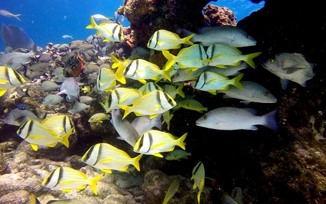 Schooling porkfish gather under the protection of coral on a beautiful coral reef in Key Largo, Florida.