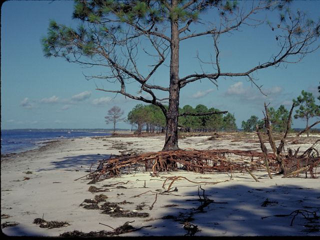 Tree on a beach with exposed root system.
