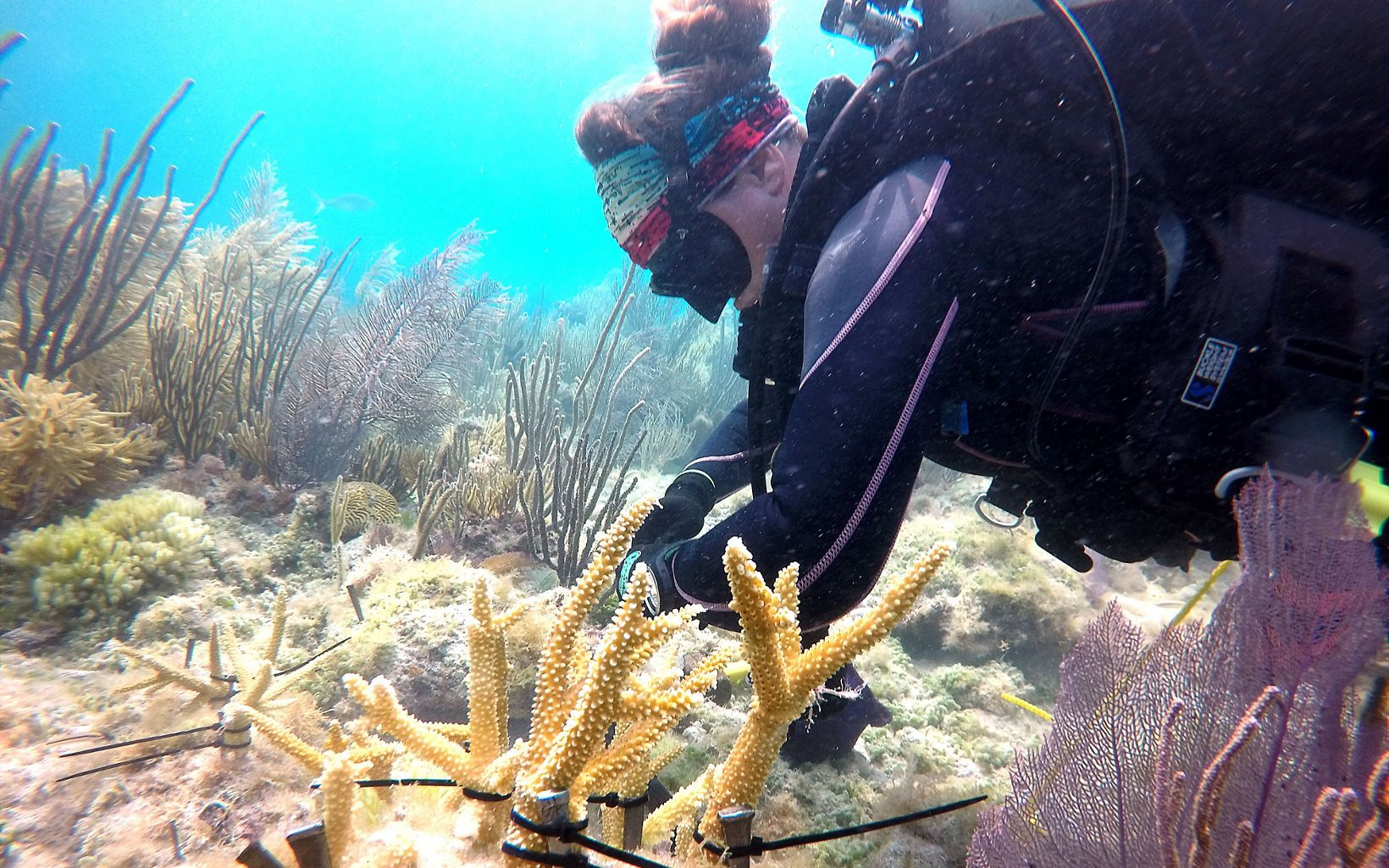 Coral outplanting at the Dry Tortugas National Park, Florida