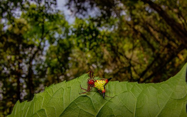 An arrow-shaped micrathena spider on a leaf