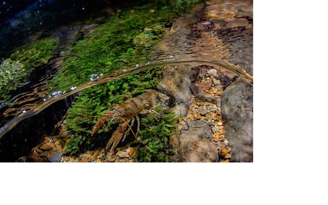 A crawfish in the Clinch River's clear water.