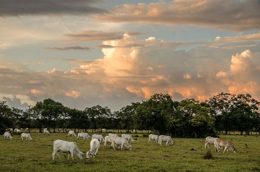 Cows on a sustainable ranch in Colombia