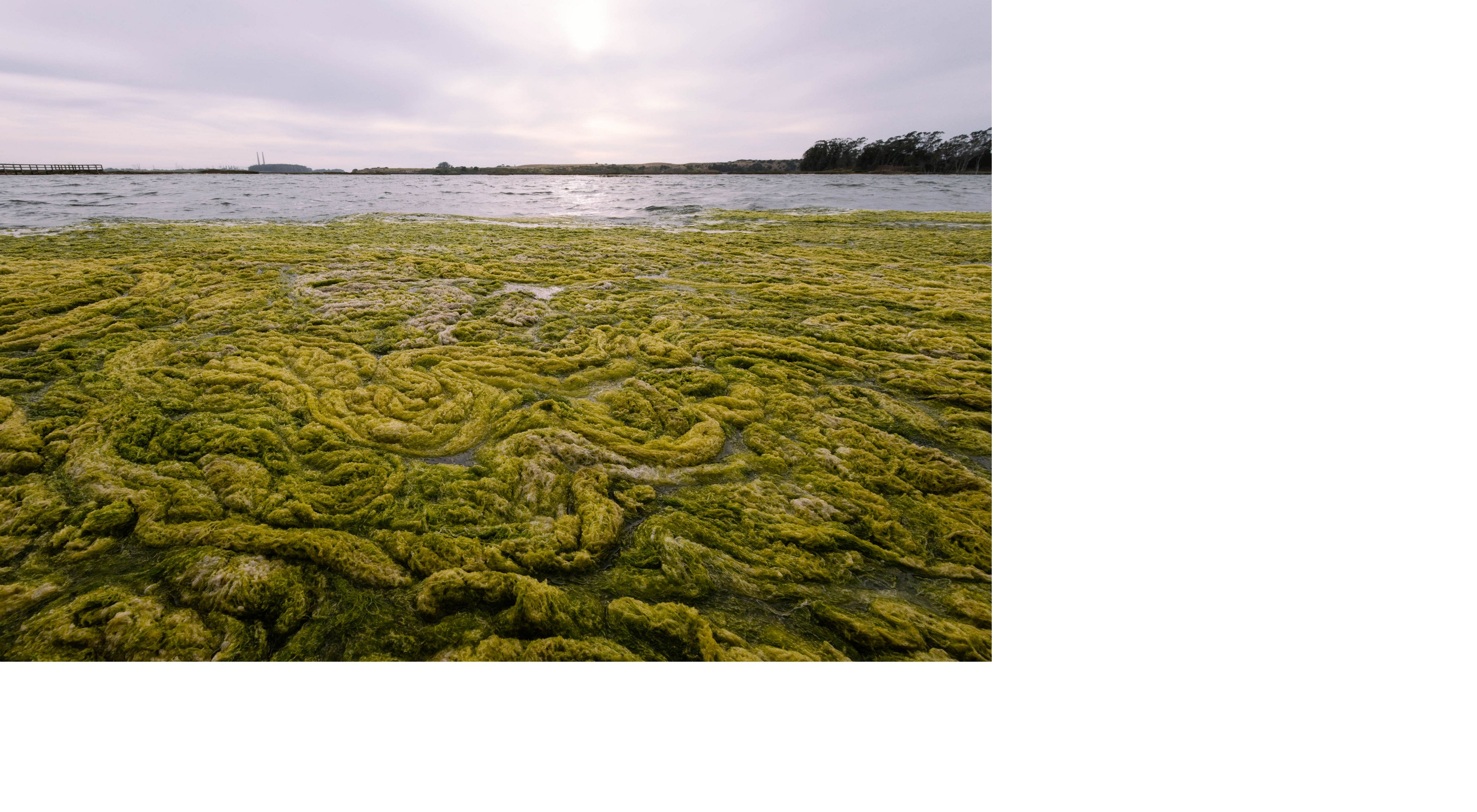 Large blooms of algae in the water