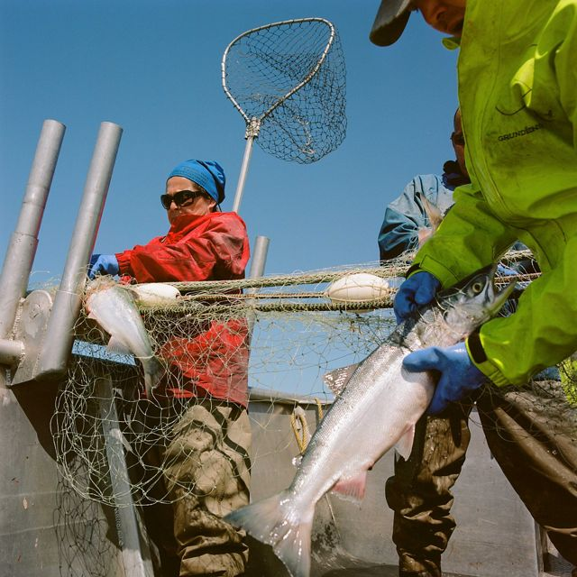 On boat, 3 people in coats and gloves pull 2 large silver-colored fish from nets on a metal boat, blue sky