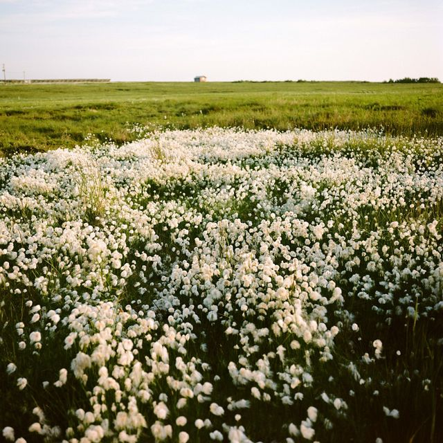 a large brush of white flowers bloom in the foreground, green grass stretches behind to the horizon