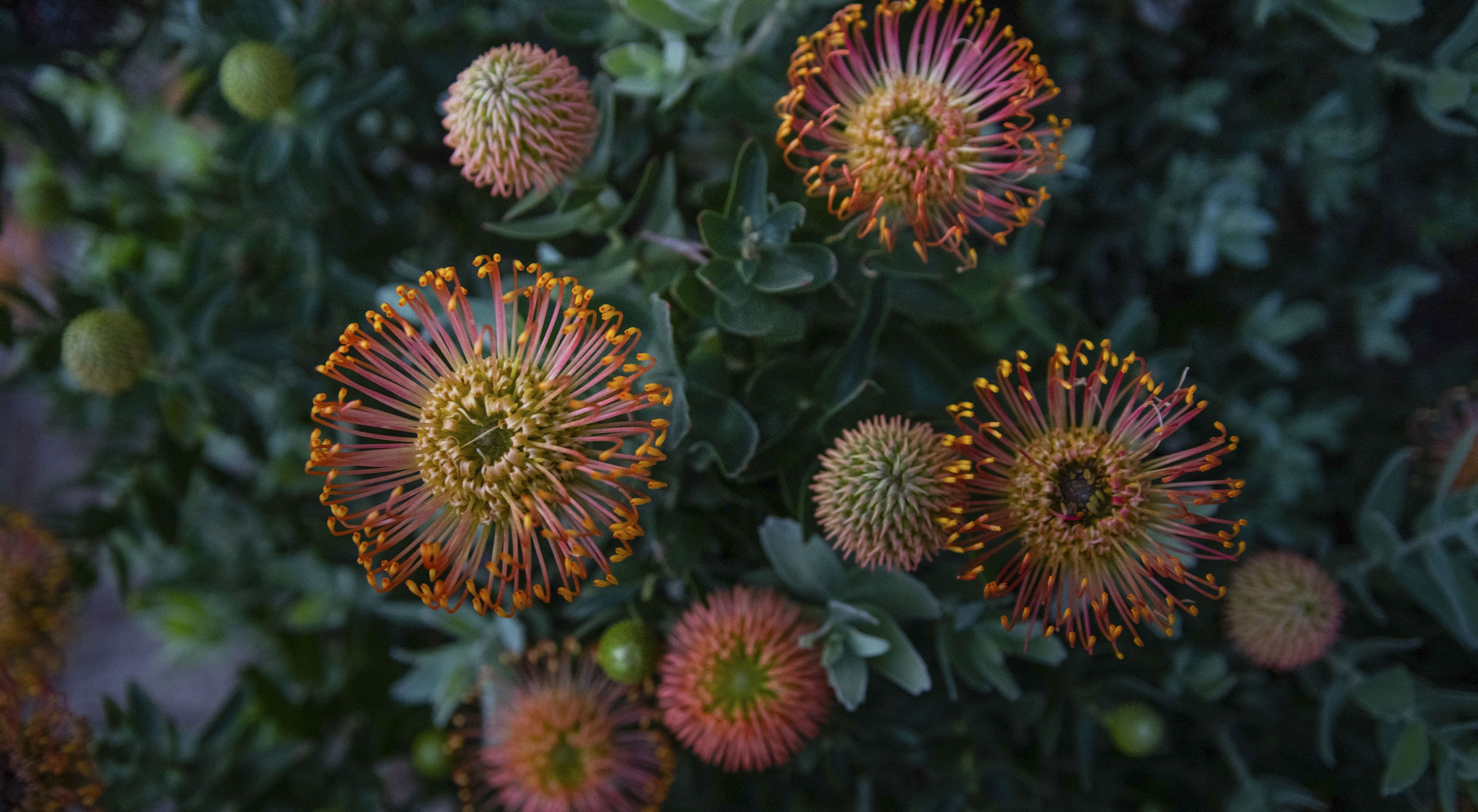 The pincushion protea is endemic to the Southwestern Cape fynbos ecosystem.