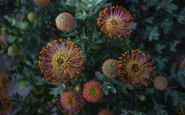 A flower called a pincushion protea