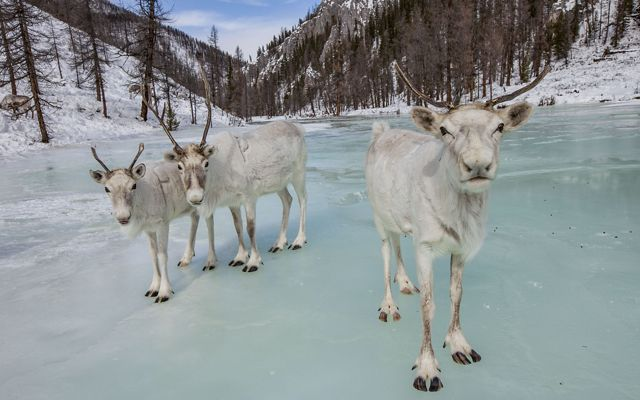 Caribou on a frozen lake in Mongolia