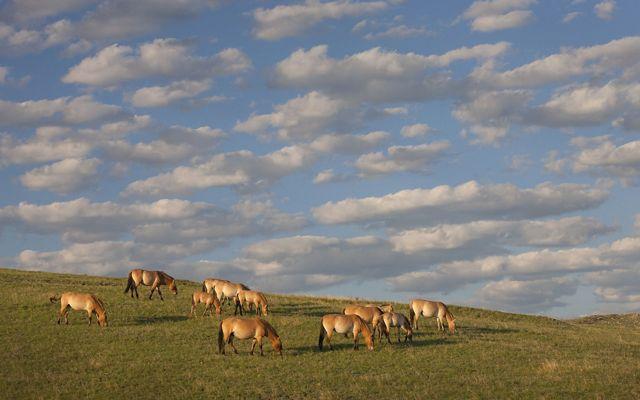 Przewalski's horse herd grazing in steppe