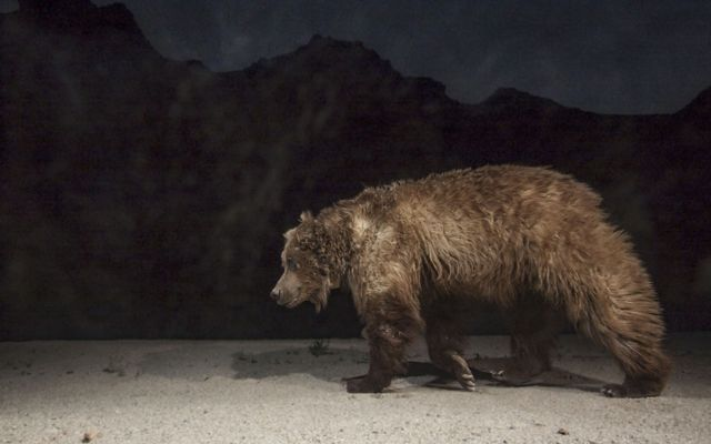 A remote camera captures a male Gobi grizzly bear visiting an oasis