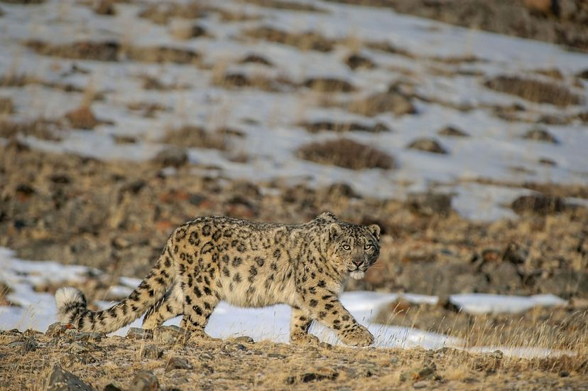 A snow leopard walks across grass and snow