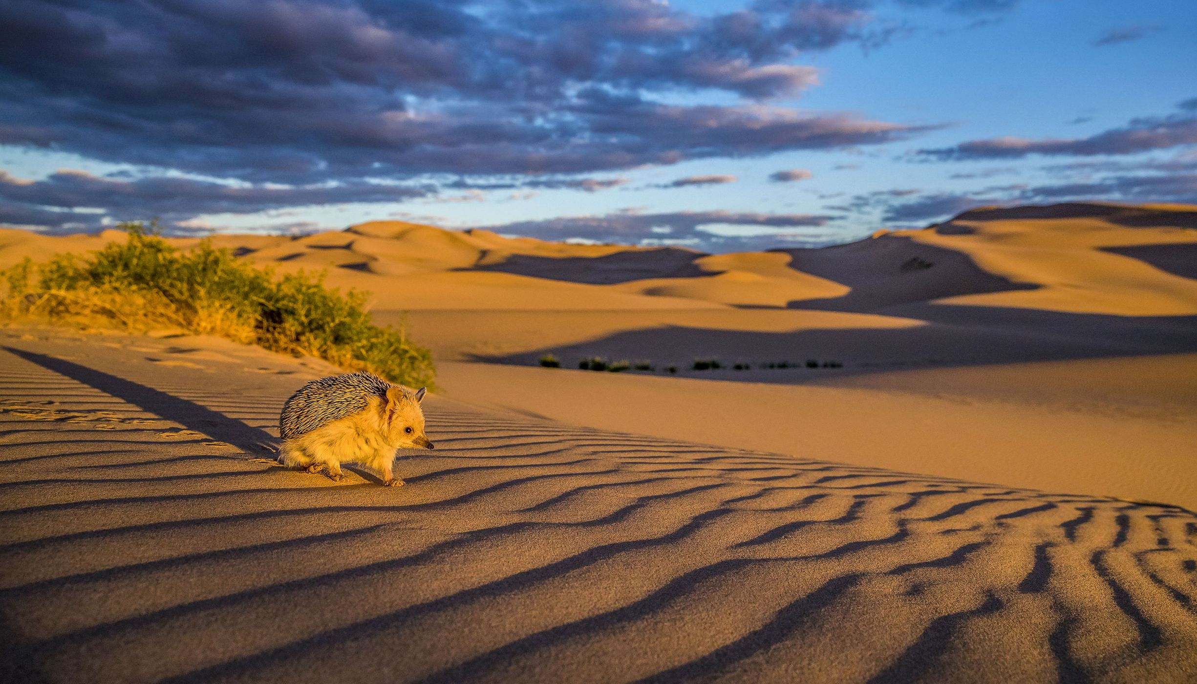 A long-eared hedgehog on a sand dune in the Gobi Desert