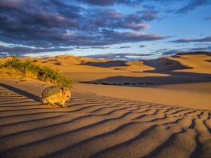 A long-eared hedgehog on a sand dune in the Gobi Desert