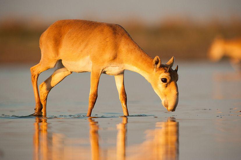 Saiga antelope drinking water