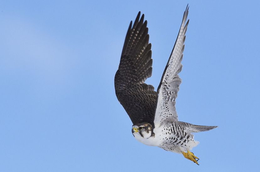 A Saker falcon in flight